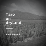 Taro on dryland